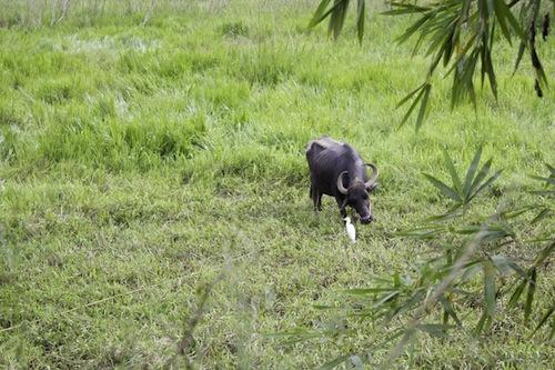 eraviperoor buffalo