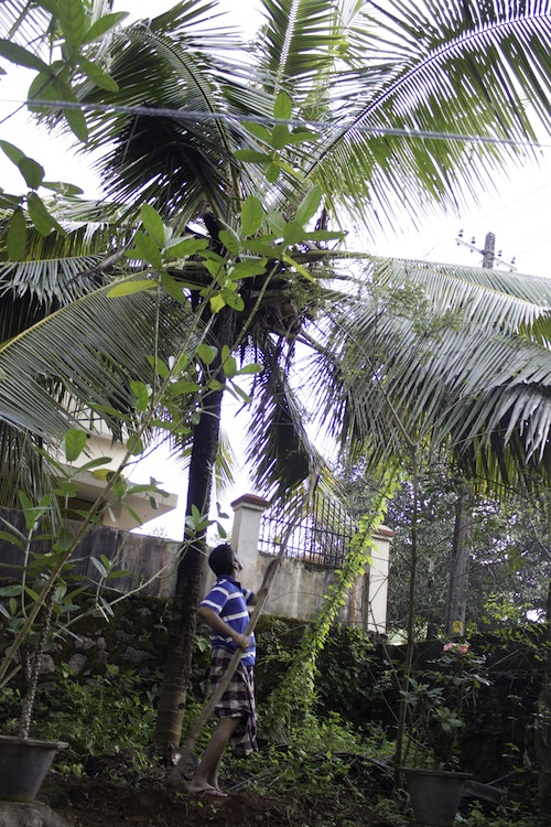 shaking coconuts from the tree - kerala